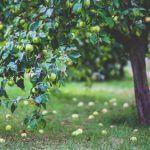 Baumpflege Apfelbaum Ralf Kretzer