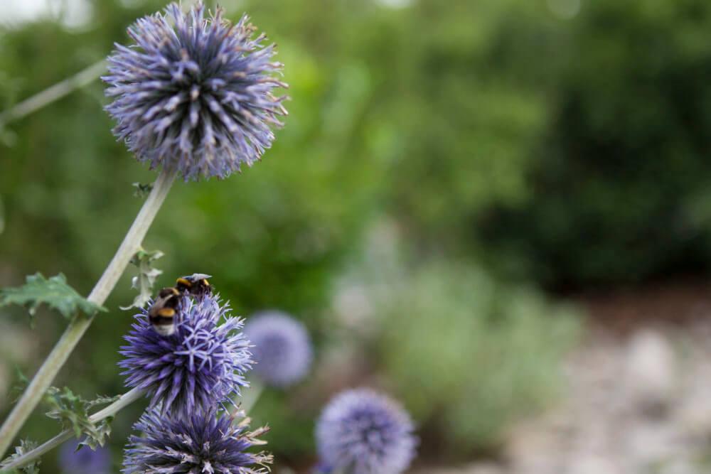 Disteln erfreuen Insekten: Garten Bepflanzung Würzburg