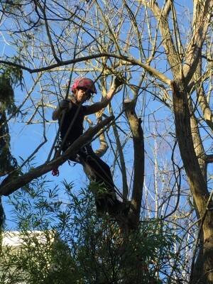 Kletterer bei der Baumpflege